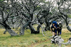 twisted snowgums