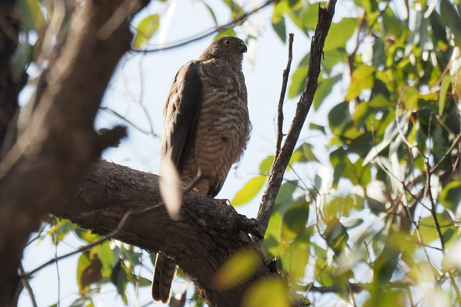 Adult Collared Sparrowhawk showing imm barring 753